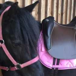 Doma Classica auf Dales-Pony-Stute
