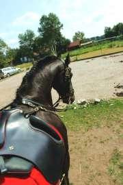 Ibero dressage saddle on Friesian gelding