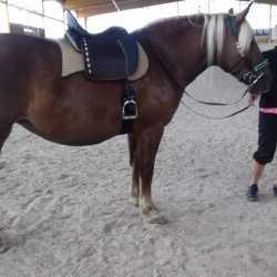 Mareike F. & Mira: Sevilla Sattel für Jungpferd - Kaltblut