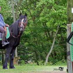 El Primero auf Connemara-Pony