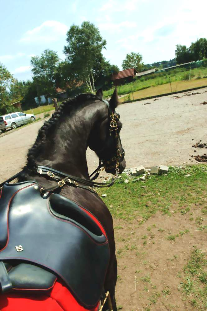 The Friesen Five Family 31 Days To A Complete Home: Ibero Dressage Saddle For Frisians
